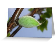 Pubescent Apricot Greeting Card