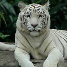 White Tiger by DUNCAN DAVIE