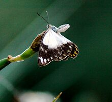 Butterfly by DUNCAN DAVIE