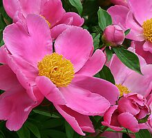 Peonies by Kelly Cavanaugh