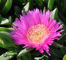 Mediterranean flower of the beaches - (Carpobrotus edulis) by Daniela Cifarelli