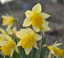 Dainty Daffodils by TheKoopaBros