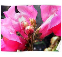 Pink Snapdragon Poster