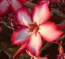 Impala Lily by Sassie Otto
