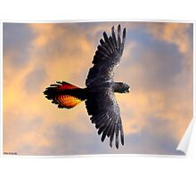 Red Tail Black Cockatoo - Flight Poster