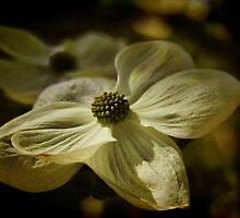 Dogwood Blossom by Barbara  Brown