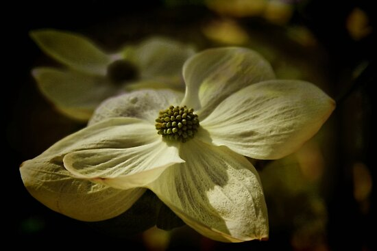 Dogwood Blossom by Barbara  Brown