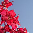 Red Bouganvillea by taiche