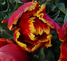 Parrot Tulips by Linda Scott