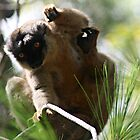 Madagascar Brown Lemur in the Wild Coming to Get You by Jane McDougall