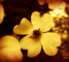 Dogwood Flower in Sepia by Lisa Taylor