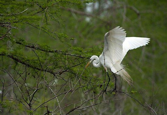 Nest building Egret by Bonnie T.  Barry