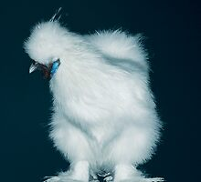 Feather Leg Silkie White Pullet by Norman Schwartz