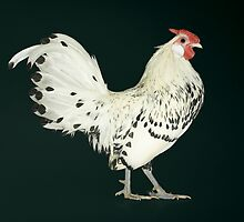 Hamburg Silver Spangled Cock by Norman Schwartz