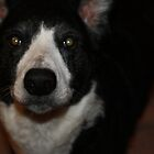 Border Collie by StephLanfear