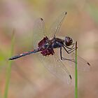 Celithemis ornata (Ornate Pennant) by Jim Johnson