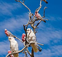 Corellas and Gallahs - Mt Dare, South Australia by Stephen Permezel