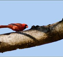 Male Cardinal by Gaby Swanson  Photography