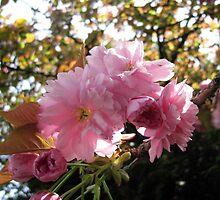 cherry blossom by Caroline Anderson