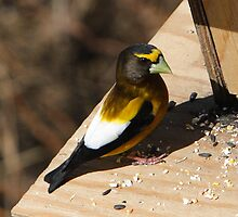 A male Evening Grosbeak 04. by DigitallyStill