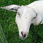 goat in green by ginapassarelli