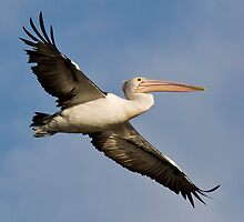 Pelican Take off by Patrick Welsh