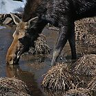 Canadian Moose by Joanne  Bradley