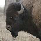 Bison Profile #2 by Ken McElroy