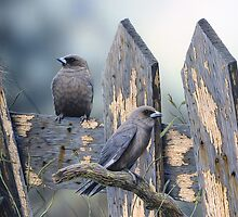Australian Duskywood Swallows by Christopher Pope