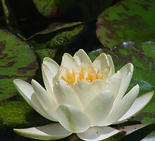 White Water Lily by Linda Scott