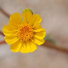 Tiny Burst of Yellow by Carol Barona