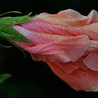 Dew Drops on Blossom by pictureit