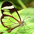 Transparent Butterfly by weberwanjek   artography