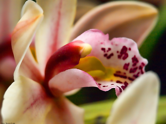 orchid bokeh by Andrea Rapisarda