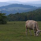 Grazing Cow by bcollie