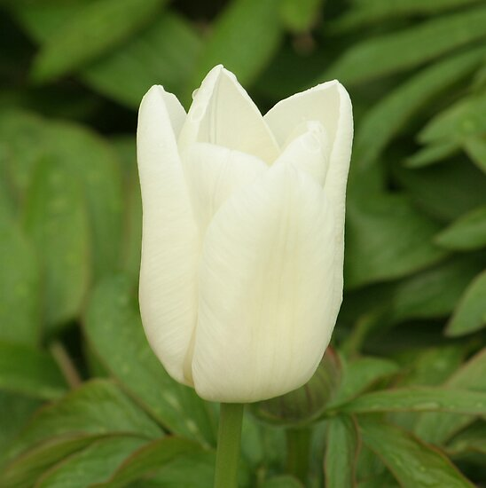 white tulip by redscorpion