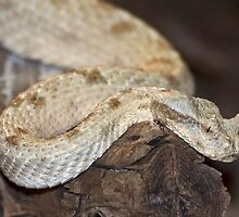 Horned Desert Viper by kilmann