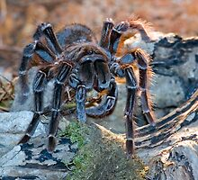 Bird-eating Spider by kilmann