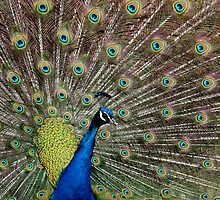 Peacock by Neil Ludford