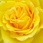 Beautiful Yellow Rose Closeup  by taiche