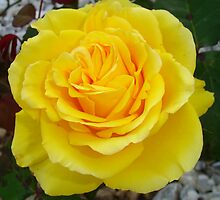 Head On View Of A Yellow Rose With Garden Background by taiche