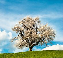 single blossoming cherry tree in spring by peterwey