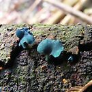 Chlorociboria aeruginascens by Esther's Art and Photography