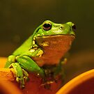 Australian Green Tree Frog by HowieP
