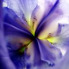Iris by Visual   Inspirations