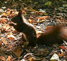 red squirrel by alixlune