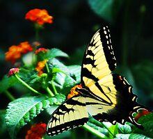 Swallowtail by Lindsay Dean