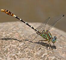 Erpetogomphus lampropeltis (Serpent Ringtail) by Jim Johnson