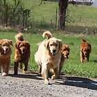 Goldens Great & Small by goldnzrule