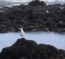 Seagull on rocks by Julie Short